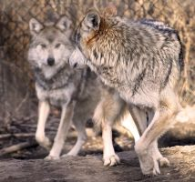Mexican Wolf Stock 29 by HOTNStock