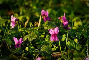 Violets in the grass Wallpaper by kayaksailor