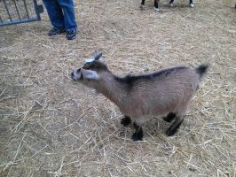 THE SMALLEST GOAT EVER!!!!!! 1 by vienna2000