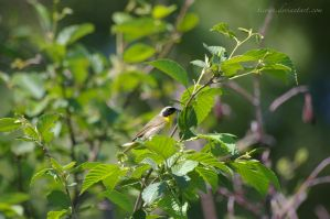 Common Yellowthroat by ticoun