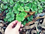 First 4-leaf Clover From The New Year by ChevelleRose