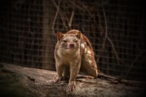 Quoll 2 by daniellepowell82