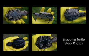Snapping Turtle Stock by frisbystock