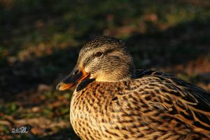 Pretty Brown Duck by Silver-Dew-Drop