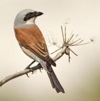 A glint in his eye - Red-backed Shrike by Jamie-MacArthur
