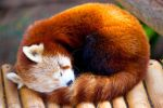 Red Panda .ll by deseonocturno
