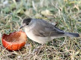 Blackcap 02 by nordfold