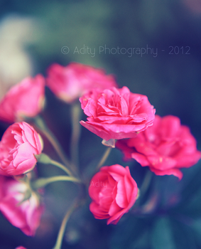 tiny roses.. by addy-ack