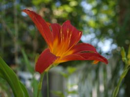 Red daylily by thelilartist