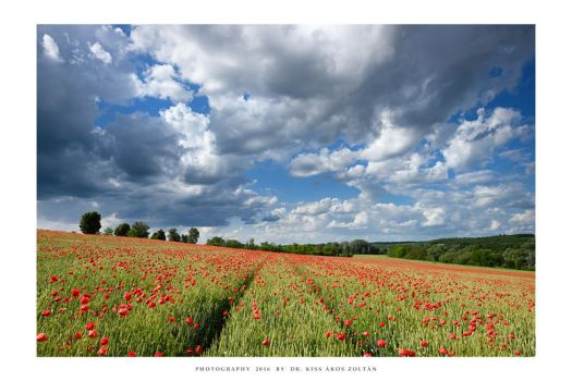 The poppies of Mernye - IV by DimensionSeven