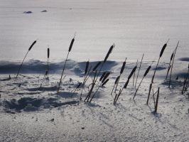Cattails by Irkaaa