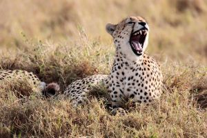 cheetah 2 by FRANCKCAMHI