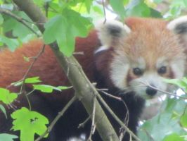Red panda by Xaelle39