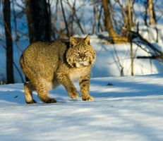 bobcat at twilight by pauleskew