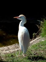 Cattle Egret by April-Snowflake