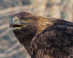 Golden Eagle 861 by caybeach