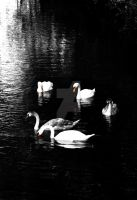 Swans by graphic-rusty