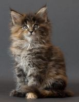 Maine coon kitten Chitsa by ropo-art