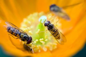 Hoverfly VI by sixtyfour