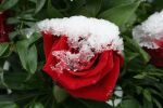 Snow Rose by CD-STOCK by CD-STOCK