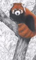 Red Panda by Yami-no-Bakura