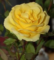 that was the last rose from my garden by GLO-HE