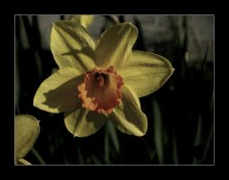 Narcissus Faded by Jerekh