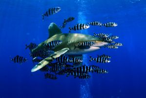 Oceanic white tips shark by bluewolf7344