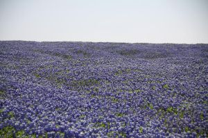 Bluebonnet by idnurse41