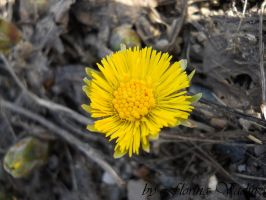 coltsfoot by florina23