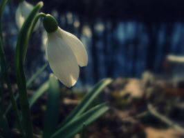 snowdrop by AkAn08