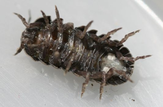Wood Louse by Guardfather