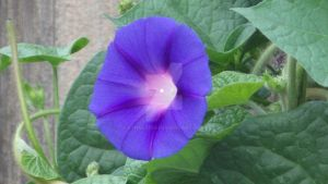 Purple Morning Glory by lynn42693