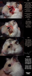 How to help hamster with badly infected wounds by Sapphiresenthiss