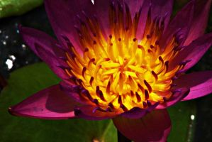 Closeup of Water lily flower 1 by a6-k