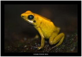 Golden Poison Frog by Dr-Koesters