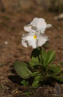 Autumn's first pansy by AfricanObserver
