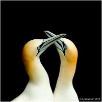 Gannets. by andy-j-s