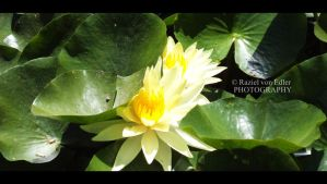 DSC01139Lotus by RazielMB-PhotoArt