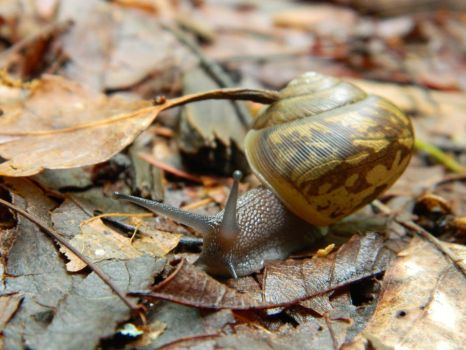 Mountain Snail by AaronofShadowpack