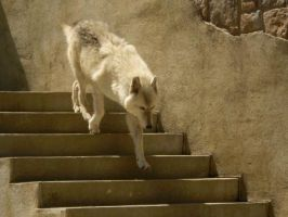 Wolf descending a staircase by jsburgh