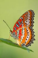 Batik Lacewing 260909 by inckurei