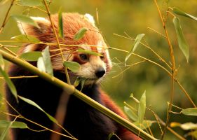 Red Panda by Ornicar-photographie