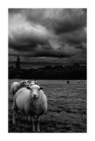 Gentle - Maxwell-Vibe -Sheep by onewordphoto