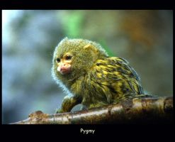 Pygmy by WindCrest