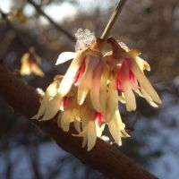 Melting snow on wintersweet flowers by TinyWild