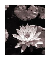 White Water Lily 2 by melissasigalovskaya