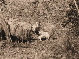 Sheeps by pedromiguelgomes