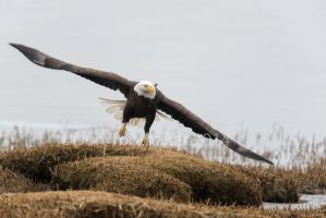 Merrimack Eagle-DT6 3935 by detphoto