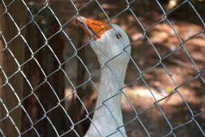 Waccatee Zoo Goose 3 by MrsChibi